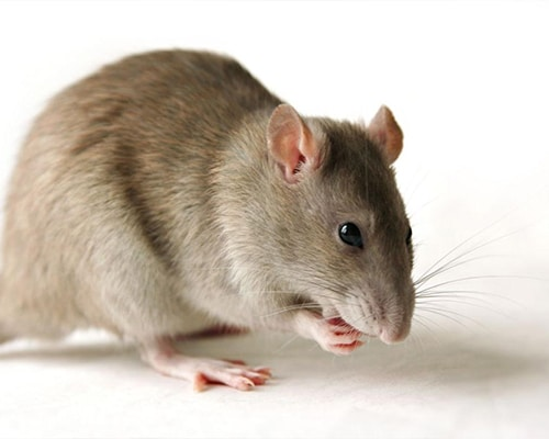 Rodent-Control-featured-img