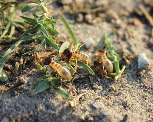 Termite-Control-harvester-termites-featured-img-new